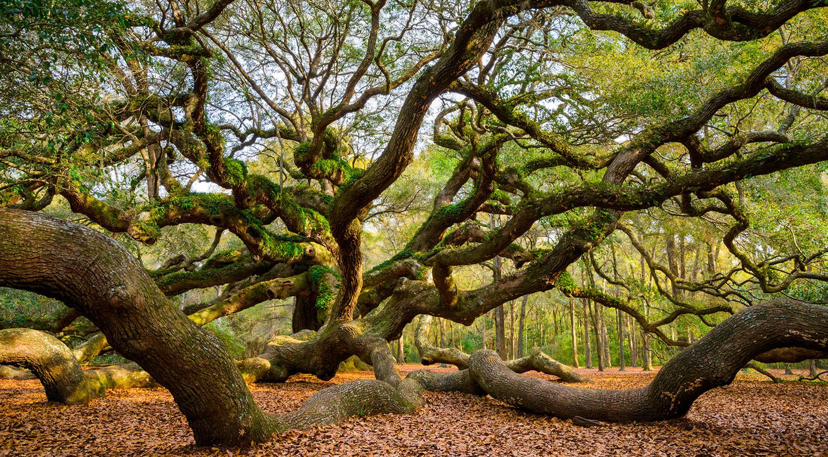 Angel Oak Tree on Johns Island SC