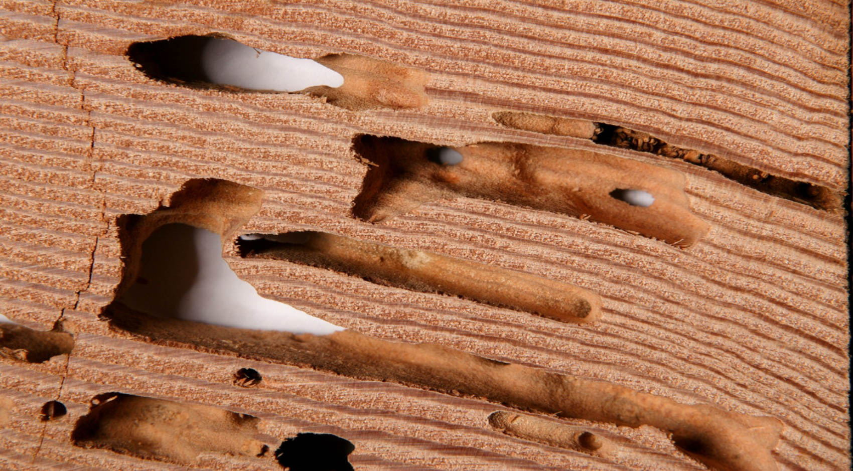 Wood with termite damage